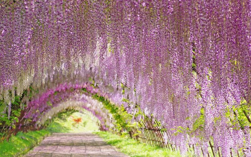 Kapan Waktu Terbaik Melihat Bunga Wisteria Di Jepang Tinydoxsjc