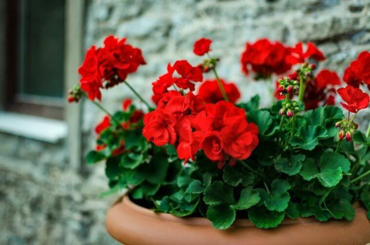 Red Geranium Potted Plant Red Flower Pelargonium Shutterstock Com 12597 1