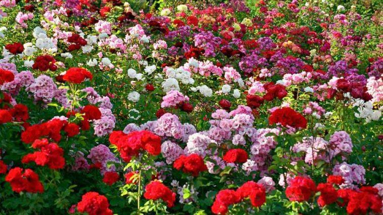 Tempat Paling Romantis Di Indonesia Dengan 91 Juta Bunga Mawar Setahun