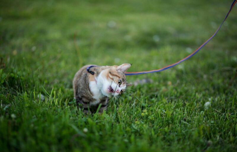 Mengapa Kucing Suka Makan Rumput