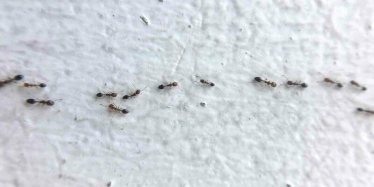 Cara Mengusir Semut Yang Berkeliaran Dalam Rumah