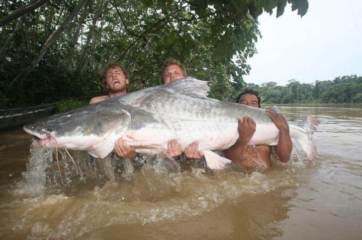Ikan Piraiba