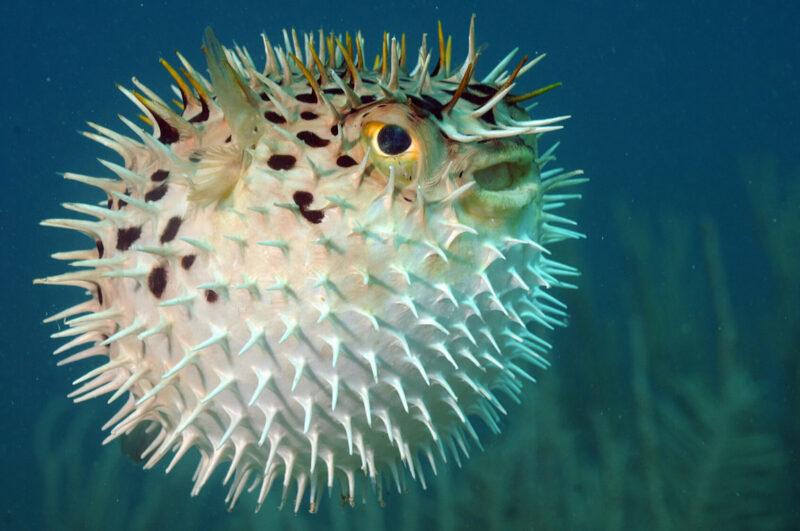 Ikan Paling Berbahaya Ikan Buntal