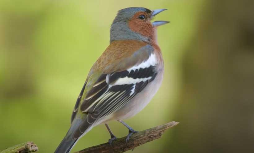 Mengapa Burung Sering Berkicau Di Pagi Hari