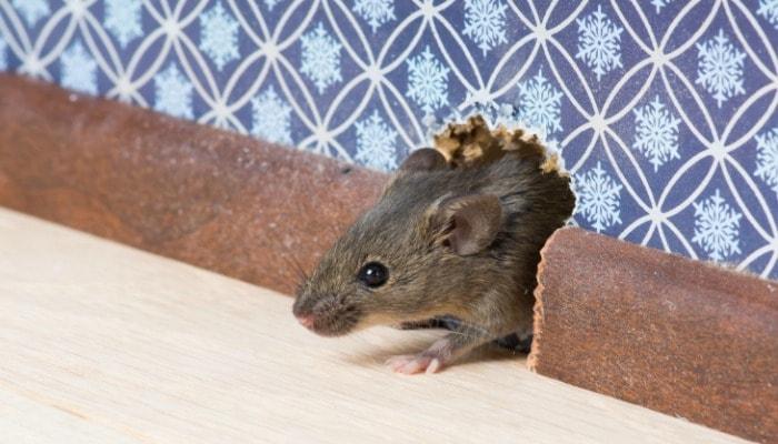 Penyebab Tikus Terus Bersarang Di Rumah