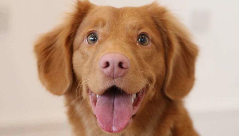 Ras anjing harga termahal di dunia