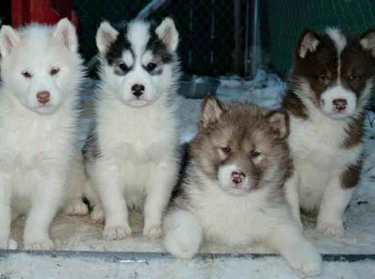 ras anjing termahal di dunia
