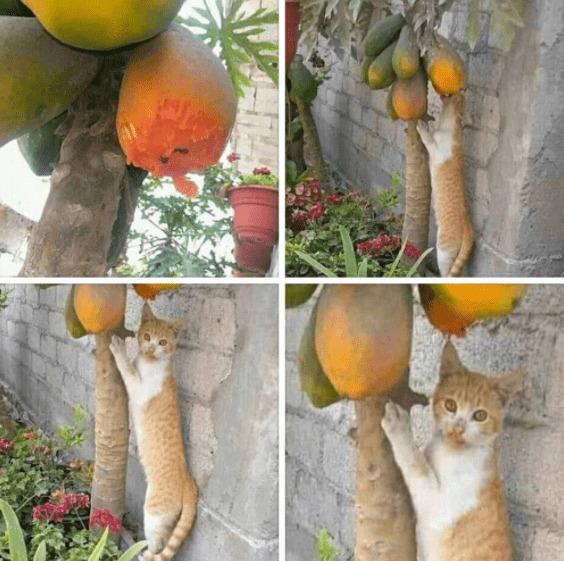 kucing mencuri buah