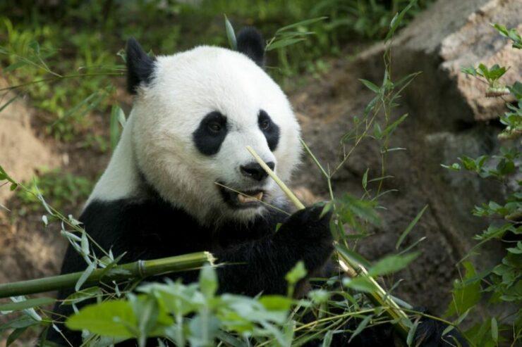 Bagaimana Suara Bayi Panda