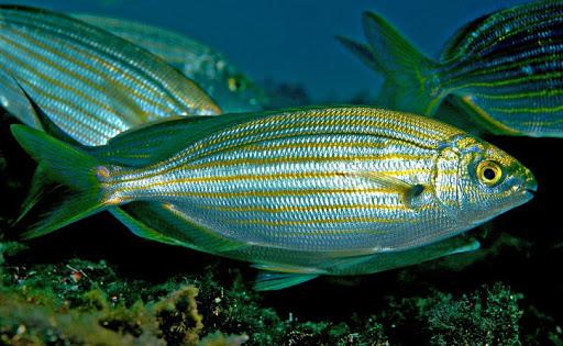 Ikan Sarpa Salpa