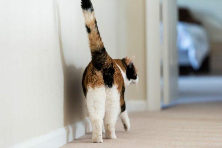 Alasan Kucing Suka Nunjukin Pantatnya