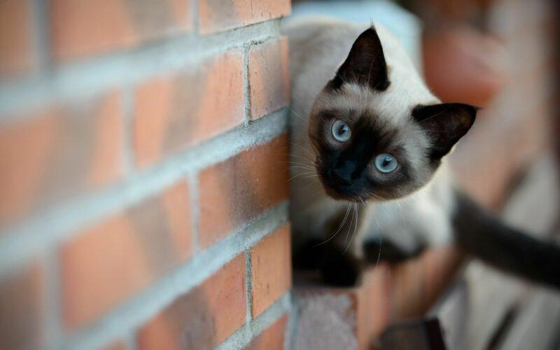 Cara Membujuk Kucing Siam Yang Tak Mau Makan