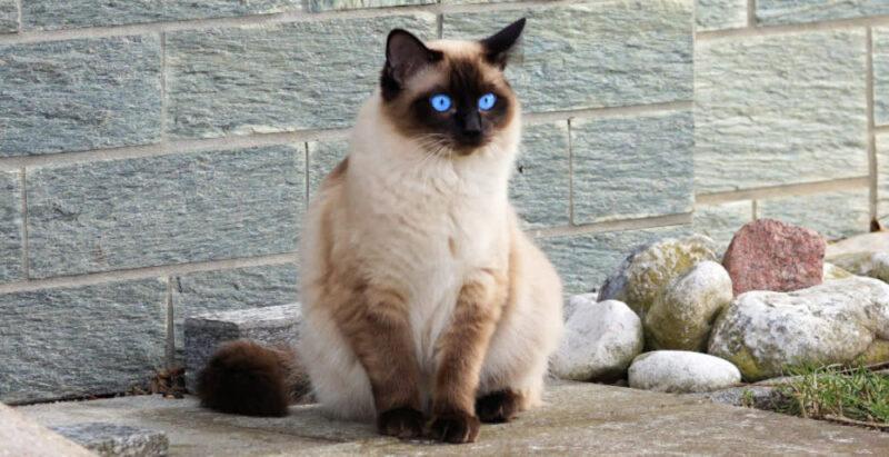 Membujuk Kucing Siam