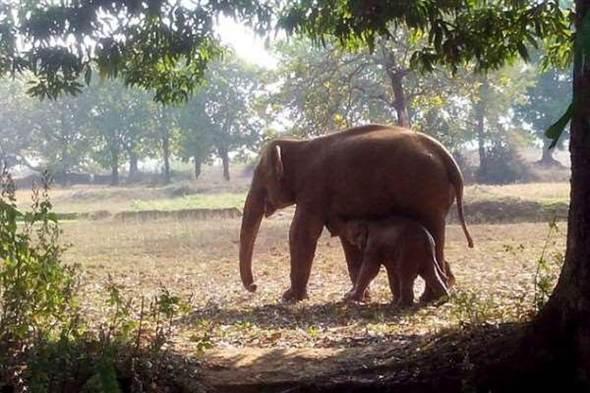 Gajah Berhasil Diselamatkan