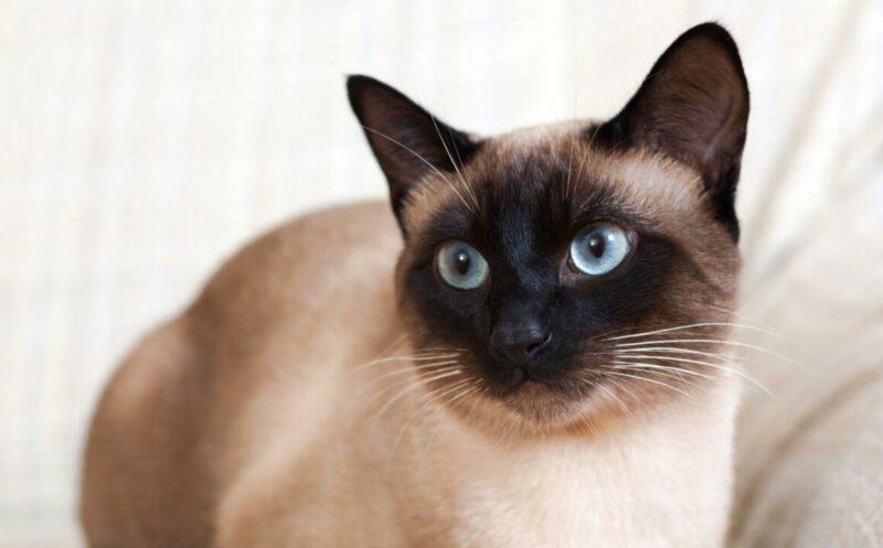 Makanan Kucing Siam