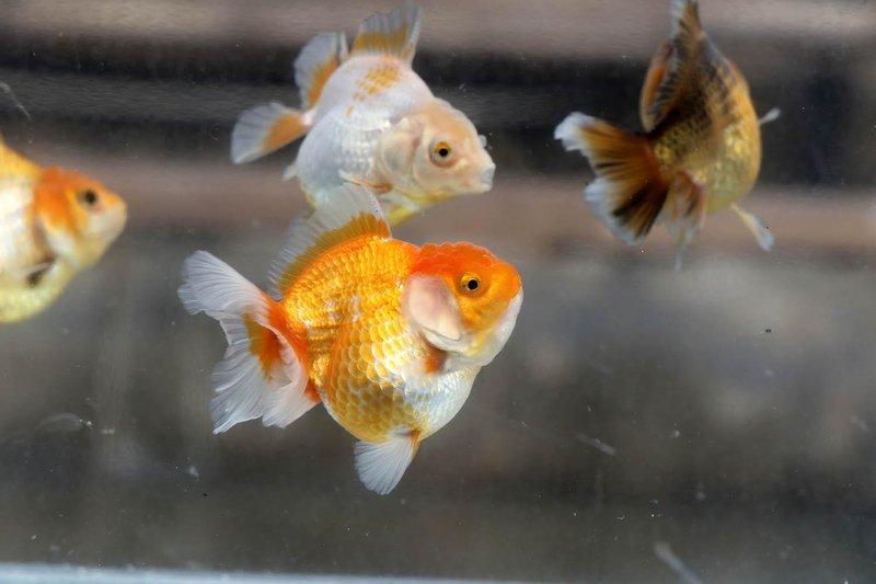 Ilustrasi Ikan Emas
