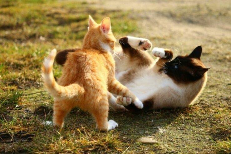 Ini Alasan Kucing Suka Bermain Dan Berkelahi Dengan Kucing Lain