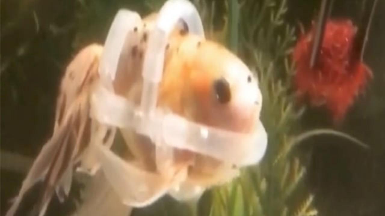 Karena Tak Bisa Berenang, Ikan Emas Ini Dipakaikan Pelampung Agar Tidak Tenggelam