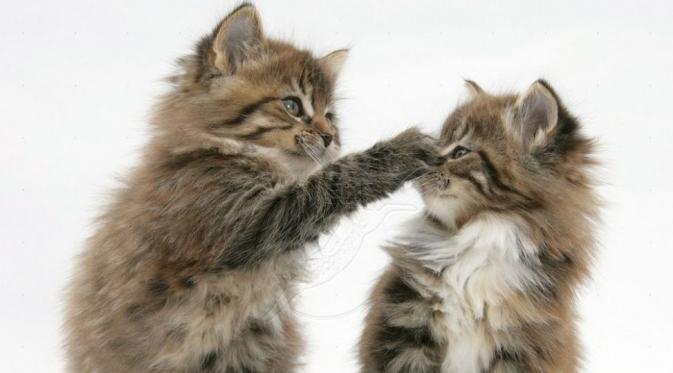 Kucing Bermain Perkelahian