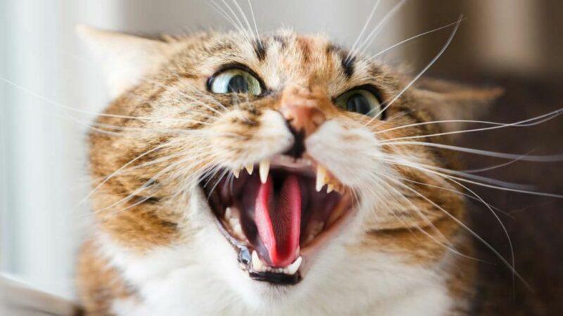 Kucing Jadi Galak