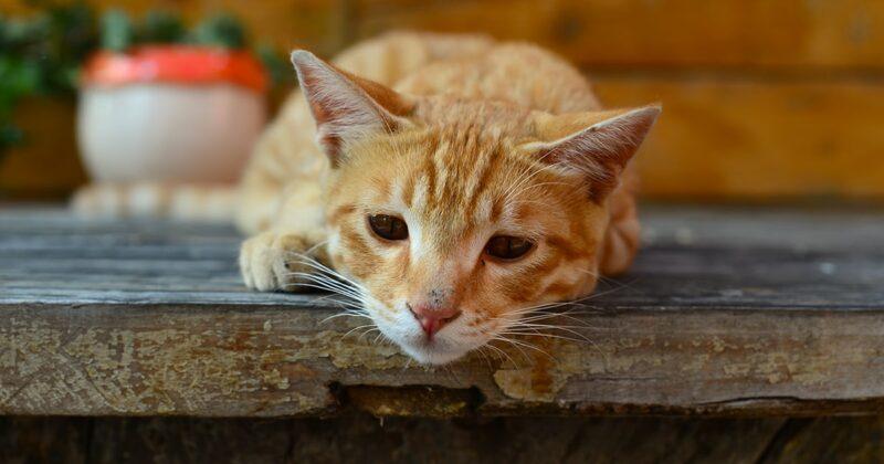 Kucing Lemas