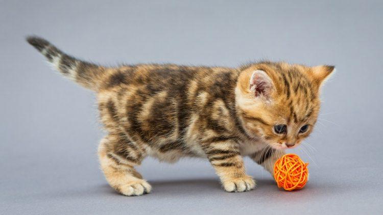 Kucing Suka Bermain Berkelahi Untuk Membakar Lemak