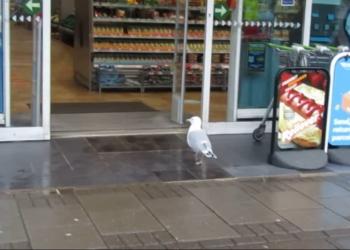 Aksi Kocak Burung Camar Yang Terekam Mencuri Makanan Dari Minimarket