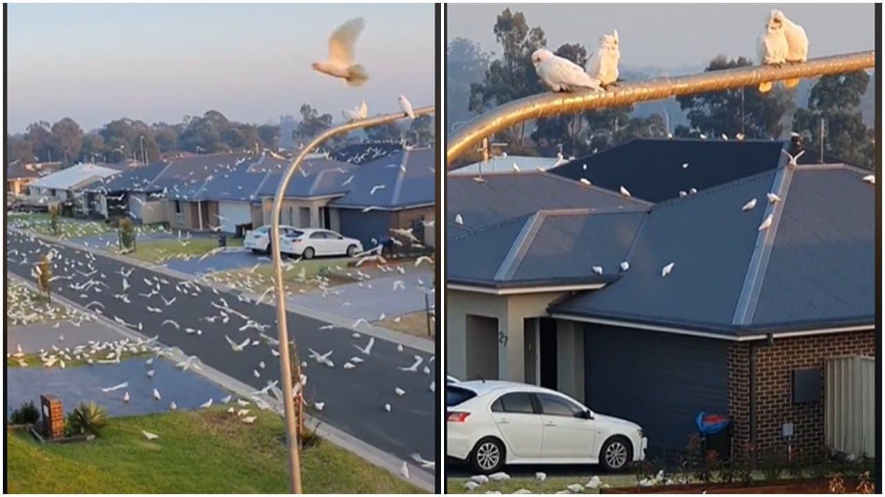 Ribuan Burung Kakatua Menyerang Kota Kecil Di Australia
