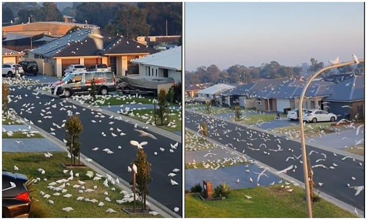Ribuan Kakatua Corella Serang Kota Di Australia