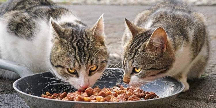Makanan Untuk Kucing Kampung