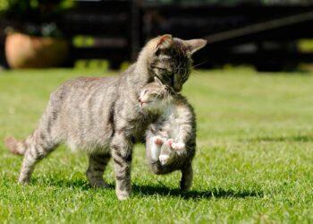 Teryata Inilah 6 Alasan Mengapa Induk Kucing Memindahkan Anaknya